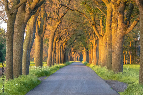 Fototapety, obrazy: country road with Oak lane
