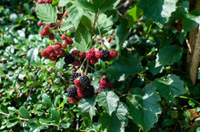 Ripening Blackberries At Branc...