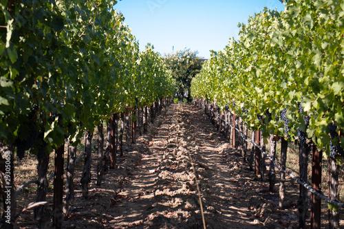 Wine grapes in Napa Valley California