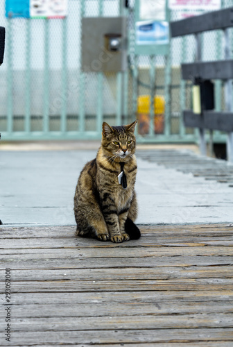 A striped tabby cat with a tag and pendant sits patiently by a blue gate, looking hazily into the distance.
