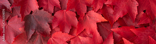 Fotomural Fall color nature background, narrow border of red maple leaves