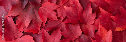 Photo Fall color nature background, narrow border of red maple leaves