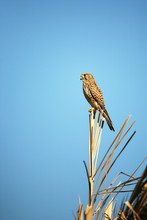 Kestrel (Falco Tinnunculus) Perched On Th Top Of A Tree Looking For Mice Or Voles To Hunt
