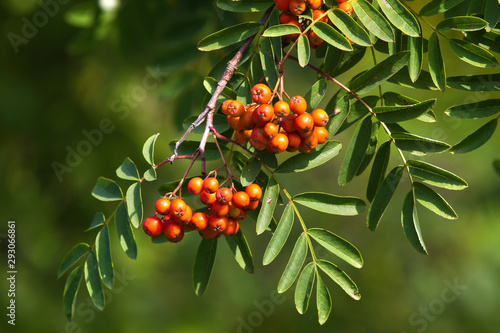 Photo bunches of rowan berries grow on a bush among the leaves