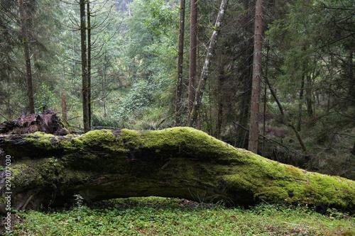obraz lub plakat Bemoostes totholz im romantischem 900 Quadratkilometer großen Nationalpark Bayrischer Wald mit seinen Urwäldern, dem größten Waldschutzgebiet Mitteleuropas und dem ersten Nationalpark Deutschlands