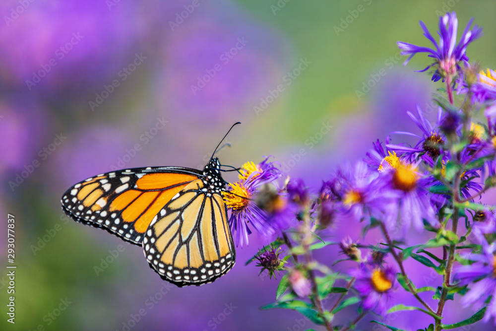 Fototapeta Monarch butterfly feeding on purple aster flower in summer floral background. Monarch butterflies in autumn blooming asters.