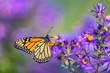 Leinwanddruck Bild - Monarch butterfly feeding on purple aster flower in summer floral background. Monarch butterflies in autumn blooming asters.