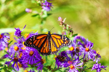 Monarch Butterfly On Purple As...