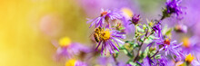 Honey Bee Pollinating Purple A...