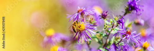 Papel de parede Honey bee pollinating purple aster flower in autumn fall garden nature background