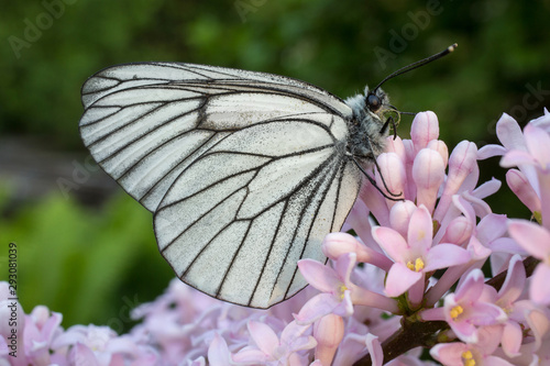 Butterfly Black-Veined White (Aporia crataegi) is on a lilac flower Canvas Print