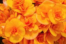 Macro View Of Yellow Begonia Flowers In Spring Garden