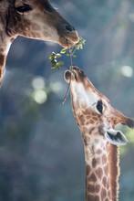 Giraffe Mother Feed Her Kid