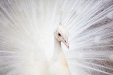 Portrait Of A White Peacock In...