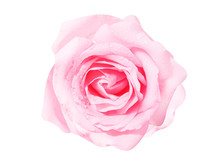 Pink Rose Flowers Fresh Sweet Patterns Head With Water Drops Isolated On White Background Top View
