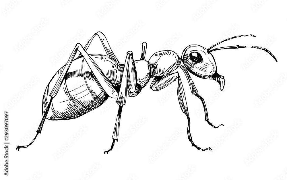 Fototapeta Ant sketch. Hand drawn illustration converted to vector