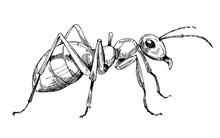 Ant Sketch. Hand Drawn Illustr...