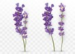 3D realistic lavender isolated on transparent background. Beautiful violet flowers. Fragrant bunch lavender. Fresh cut flower. Vector illustration