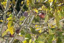 Figs Growing On Fig Tree In Ru...