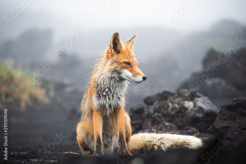 A magnificent wild Red Fox (Vulpes vulpes) hunting for food to eat Wallpaper Mural