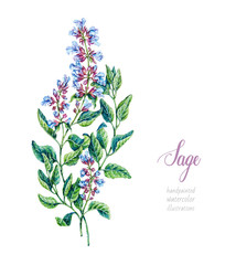 Fototapeta Przyprawy Sage. Watercolor botanical hand drawn illustration. Salvia