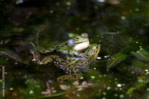 Canvas Prints Frog Groene kikker man grijpt vrouwtje