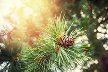 Green Coniferous Cedar Ripe Pi...