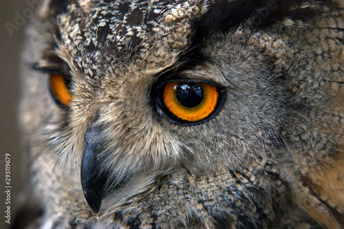 Naklejki Sowa   close-up-portrait-of-an-owl-head