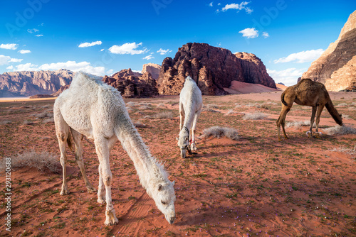 Herd of camels grazing at Wadi Rum desert, southern Jordan