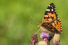 Close Up Image Of Colorful Painted Lady Butterfly Sitting On Purple Thistle Growing In A Meadow On A Summer Day. Blurry Green Background.