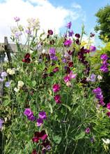 Tall Sweet Pea Flowers (Lathyrus Odoratus)