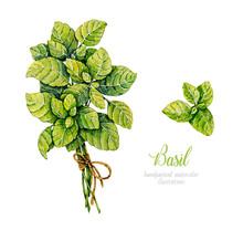 Watercolor Basil. Herbs. Watercolor Botanical Hand Drawn Illustration. Bunch Of Basil