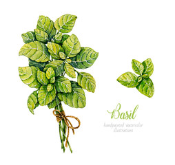 Fototapeta Przyprawy Watercolor basil. Herbs. Watercolor botanical hand drawn illustration. Bunch of basil