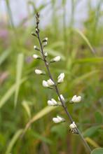 White Wild Indigo Blooming In ...
