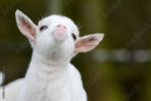 fototapeta na ścianę head from cute, small, white goat kid