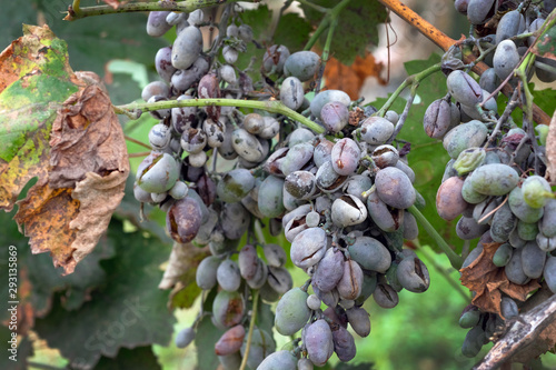 Fotografie, Obraz Bunches of grapes affected by powdery mildew or oidium with yellow leaves