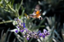 Hummingbird Hawk Moth Butterfl...
