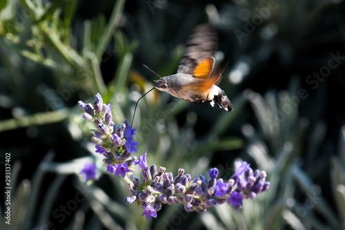 Fotografie, Obraz  Hummingbird Hawk Moth Butterfly (Macroglossum stellatarum) Drinking Nectar From