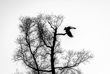 Silhouette Of Dark Eagle Flying Over The Bare Branches Of Trees. Halloween Concept. Black And White Image