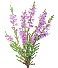 Blossoming Fine Pink Heather Branch Closeup