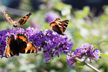 A Group Of Small Tortoiseshell Butterflies Feeding On A Buddleia Plant September 2019 Wales.