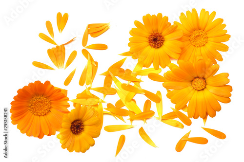 Obraz marigold flowers with petals isolated on white background. calendula flower. top view - fototapety do salonu