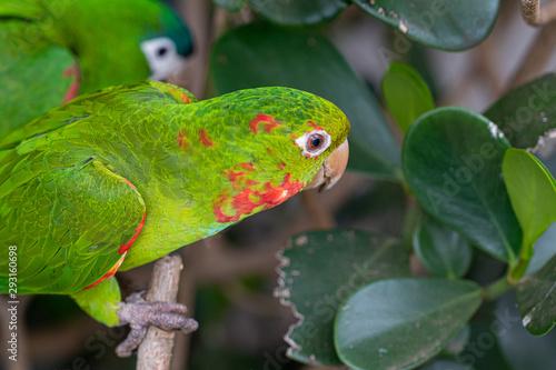 Photo Arara e periquito da america do sul sub tropical