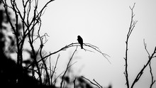 A Lonely Eagle (bird) Stands On A Branch. A Silhouette Black And White Photo. Fine Sky On The Background.