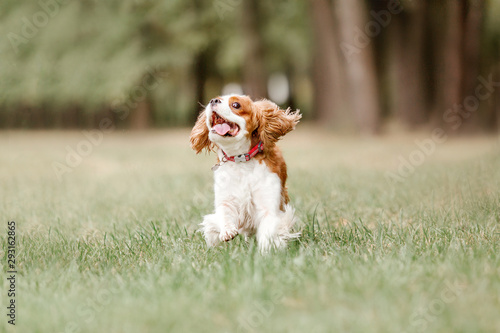 Obraz Cavalier King Charles Spaniel dog for a walk - fototapety do salonu
