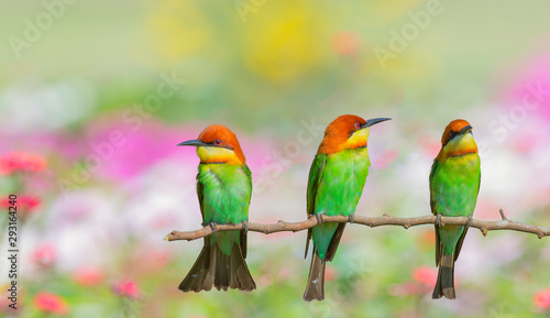 Beautiful birds in nature Chestnut-headed Bee-eater. Canvas Print