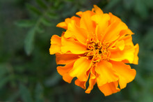 Orange French Marigold (Tagetes Patula) With Green Background In The Organic Garden