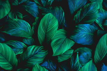 Fototapetaleaves of Spathiphyllum cannifolium, abstract green texture, nature background, tropical leaf