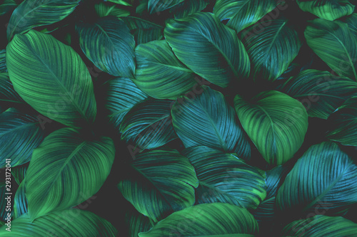 leaves of Spathiphyllum cannifolium, abstract green texture, nature background, tropical leaf #293172041