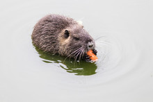 Coypu Eating Carrots In The Wa...